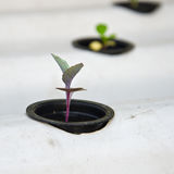 Hydroponic system seedling Stock Photography
