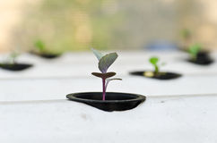Hydroponic system seedling Stock Images