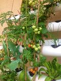Hydroponic tomater Fotografering för Bildbyråer