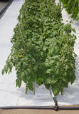 Hydroponic Tomato Cultivation Royalty Free Stock Photo