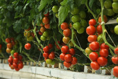Hydroponic tomato. Hydroponic cultivation of the tomatoes in the greenhouse Stock Photos