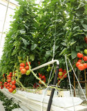 Hydroponic tomato. Hydroponic cultivation of the tomatoes in the greenhouse Royalty Free Stock Image