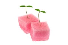 Hydroponic Tomato sprout. In a pink sponge isolated on white background Royalty Free Stock Image