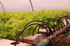 Hydroponic vegetable культура в испарении воды парника, Таиланд стоковая фотография
