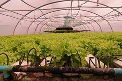 Hydroponic vegetable культура в испарении воды парника, Таиланд стоковые изображения rf