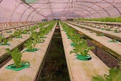 Hydroponic vegetable культура в испарении воды парника, Таиланд стоковое фото