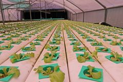 Hydroponic vegetable культура в испарении воды парника, Таиланд стоковые фото