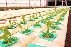Hydroponic vegetable культура в испарении воды парника, Таиланд стоковые изображения