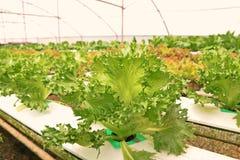 Hydroponic vegetable культура в испарении воды парника, Таиланд стоковая фотография rf