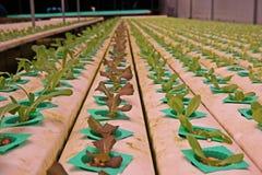 Hydroponic vegetable культура в испарении воды парника, Таиланд стоковые фотографии rf