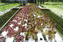 Hydroponic Vegetable садовничать Стоковые Фото