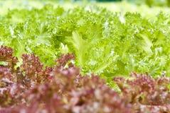 Hydroponic Vegetable садовничать Стоковое Изображение RF