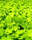Hydroponic  Vegetable  02 Stock Photo