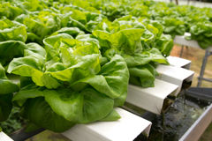 Hydroponic vegetable Royalty Free Stock Photo
