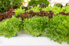 Free Hydroponic Vegetable Stock Images - 31890174