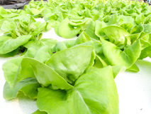 Hydroponic vegetable. Is planted in a garden Stock Photos