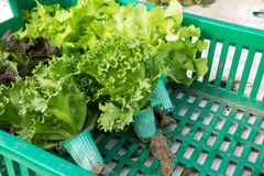 Hydroponic vegetable in basket Royalty Free Stock Image