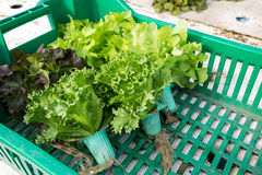 Hydroponic vegetable in basket Stock Photography