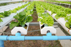 Hydroponic vegetable. Close up on Stock Image