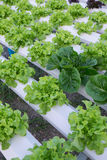 Hydroponic vegetable. Close up on Royalty Free Stock Images