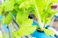 Hydroponic vegetable. Close up shot hydroponic vegetable farm Stock Photos