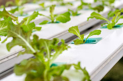 Hydroponic vegetable Royalty Free Stock Photography