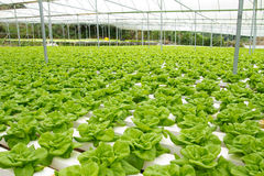 Hydroponic vegetable farm. Organic hydroponic vegetable garden at Cameron Highlands Malaysia Stock Photography