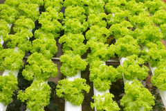 Hydroponic vegetable farm Royalty Free Stock Image