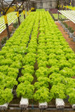 Hydroponic vegetable farm Stock Images