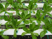 Hydroponic vegetable in the farm Stock Photography
