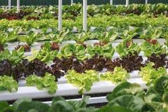 Hydroponic Vegetable farm Organic Fresh Food Stock Photos