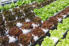 Hydroponic Vegetable farm Salad Healthy Food Stock Photo