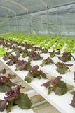Hydroponic vegetable farm. Stock Image