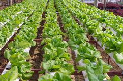 Hydroponic vegetable in farm Stock Photo