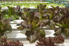 Hydroponic Vegetable Gardening Stock Photos