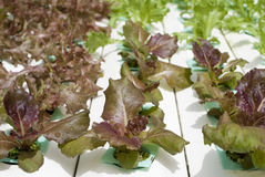 Hydroponic Vegetable Gardening Stock Photo