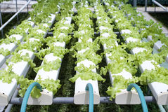 Hydroponic Vegetable Gardening Royalty Free Stock Photography