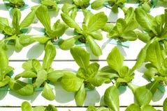 Hydroponic Vegetable Gardening Royalty Free Stock Photo