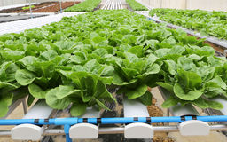 Hydroponic vegetable (Green Cos) in farm Royalty Free Stock Photo