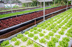 Rows of assorted hydroponic vegetable growing in a green house. hydroponic vegetable background. Organic hydroponic vegetable garden at Chiangmai, Thailand Stock Photo