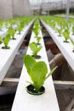 Hydroponic vegetable plantation Royalty Free Stock Image
