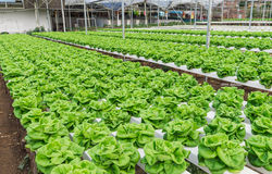 Hydroponic Vegetable Planting Stock Photos
