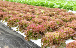 Hydroponic vegetable (Red corel) Royalty Free Stock Photo