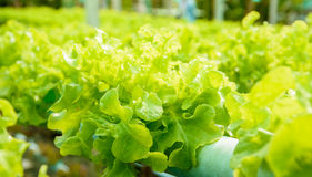 Hydroponic vegetable. In sunset golden light,close up image Stock Images