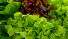 Hydroponic vegetable, vegetable Green Oak, Red Coral. Hydroponic organic salad vegetable, vegetable Green Oak, Red Coral stock photos
