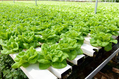 Hydroponic vegetable Royalty Free Stock Photos