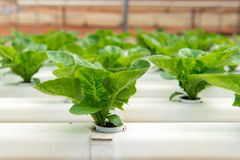 Hydroponic vegetable. S growing in greenhouse at Cameron Highlands Royalty Free Stock Photo