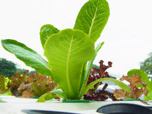 Hydroponic vegetables. Planting hydroponic vegetables in pits Royalty Free Stock Image
