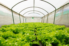 Hydroponic Vegetables in Covered Netting Royalty Free Stock Images