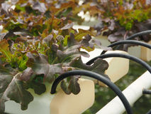 Hydroponic vegetables in the farm Stock Images